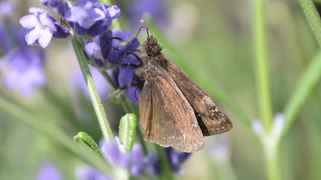 Butterfly on lavender! St. Catharines, ON