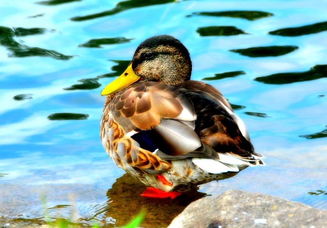 Labour Day Duck,Dufferin Islands Niagara Falls, ON