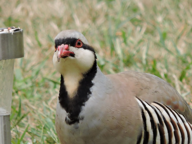 Chukar Partridge Nanticoke, ON