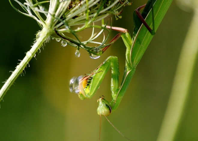 Pray Mantis, from dinner to rain... Scarborough, Toronto, ON