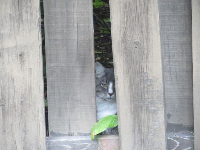 Mr cat is peeking through the fence Sherwood Park, AB