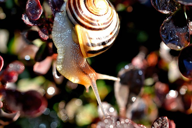 Garden Snail in the Morning Dew Goderich, ON