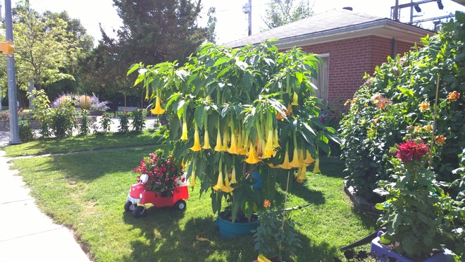 Todays Brugmansia Owen Sound, ON