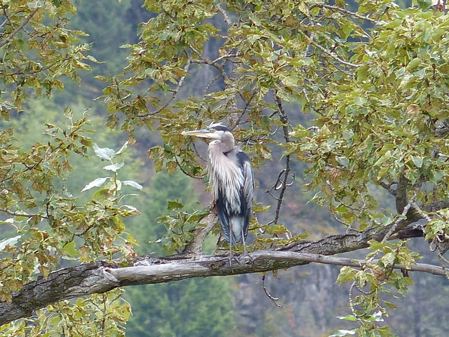 Blue heron sitting in a tree Grand Forks, BC