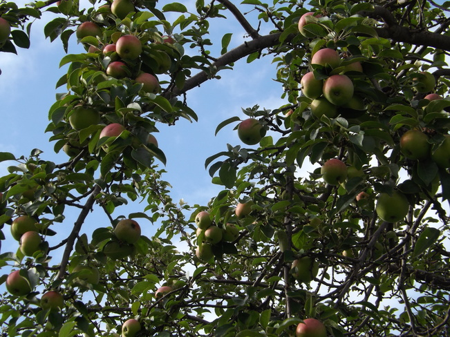apples are getting ripe Thunder Bay, ON
