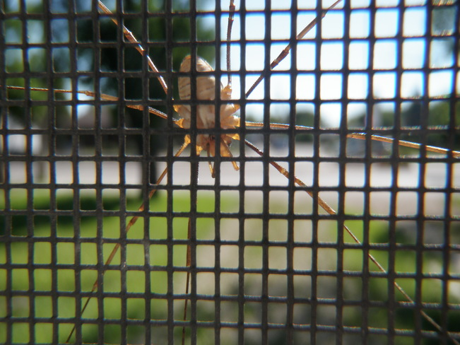spider on the window screen Winnipeg, MB