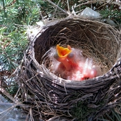 Mommy Robin nesting on 3 eggs and baby Robins born