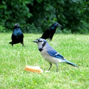 Blue Jay and Black birds...