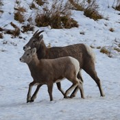 Mom and Daugther (Mountain Sheep)