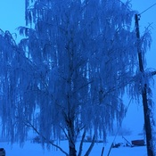 Frosty weeping birch