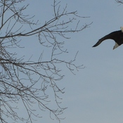 Bald Eagles in Gananoque, Ontario