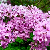 Can't wait for Lilacs