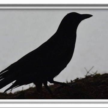 Profile de corbeau