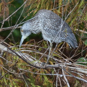 Oiseau de la Floride