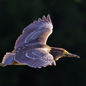 Rare glimpse of a Juvenile Black-Crowned night heron caught in rising sunbeam