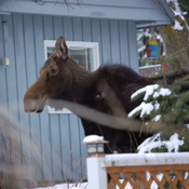 A pair of moose enjoy the morning weather