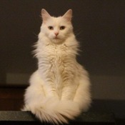 All white cat modelling
