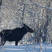 Mom Moose