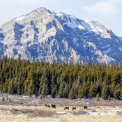 Alberta Mountain Horses