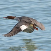 Female Common Merganser!