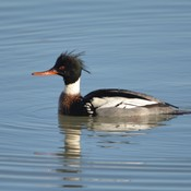 Male red-breasted Merganser!