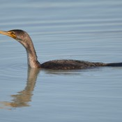 Double-crested Cormorant!