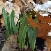 Daffodils Sarnia Ontario February 5 2016