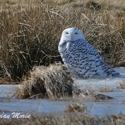 Where do Snowy Owls sleep?