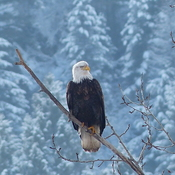 Pretty eagle winter scene
