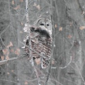 Barred Owl - Taken on Hill Island, Ontario in Jan 2016