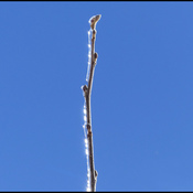 One twig, Elliot Lake.