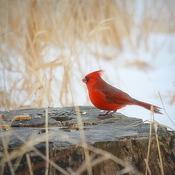 Cardinal rouge (Mâle)