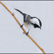 Chickadee, Elliot Lake.
