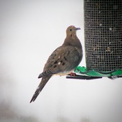 Mourning Dove at the feeder during today's storm