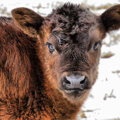 A January baby calf.