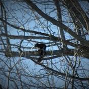 Écureuil noir...