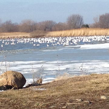 Tundra swans in Rondeau Bay Ontario