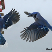 Blue Jay Wave