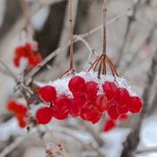 Baies rouges sous la neige!