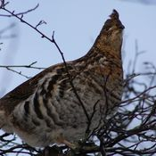 And a partridge... in a tree.......