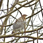 Female Ruffed Grouse unimpressed.