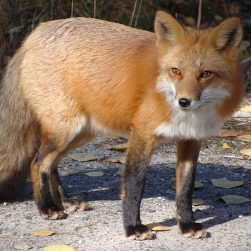 Foxes at Panel Mine Road, Elliot Lake, ON