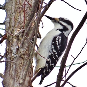 Female Hairy Woodpecker.
