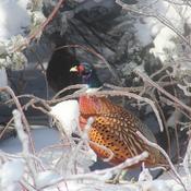 Pheasant & mate