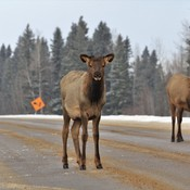 Elk on the Highway