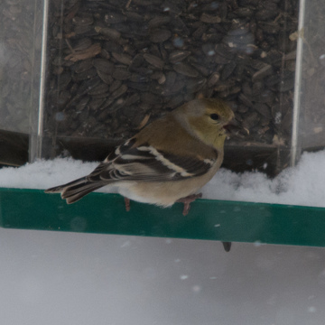 Winter Plummage Goldfinch