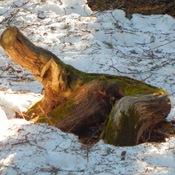 Source d'arbre dans Sentier raquette