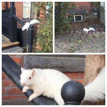 The infamous white squirrel