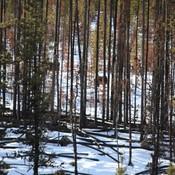 Mean while in Albertas clear cutting. Logging trucks going through Wildlife Sanc