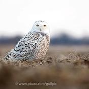 Snowy owl in Ottawa